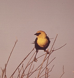 Bird in farmland bush, May 1972
